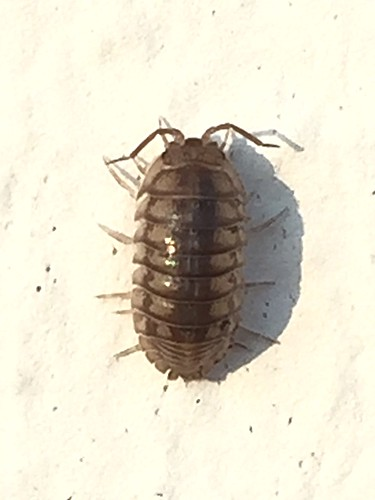 Potato Bug on Painted Brick