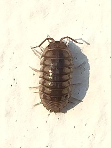 Potato Bug on Painted Brick