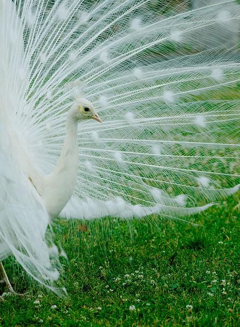 Peacock_16