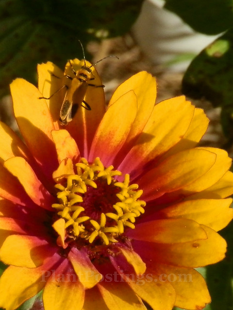 gr soldier beetle