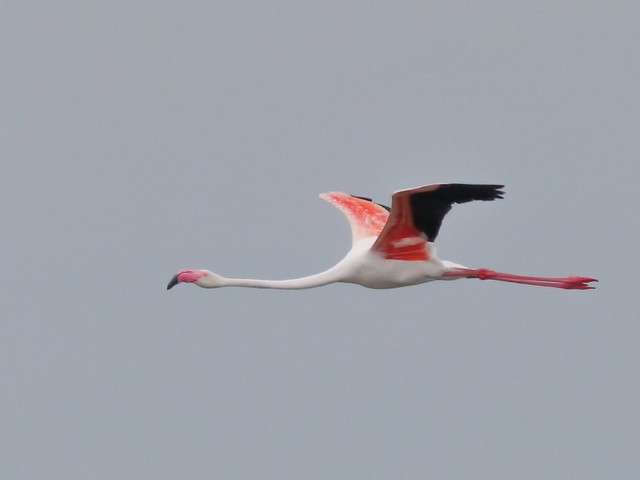 Greater Flamingo - 4