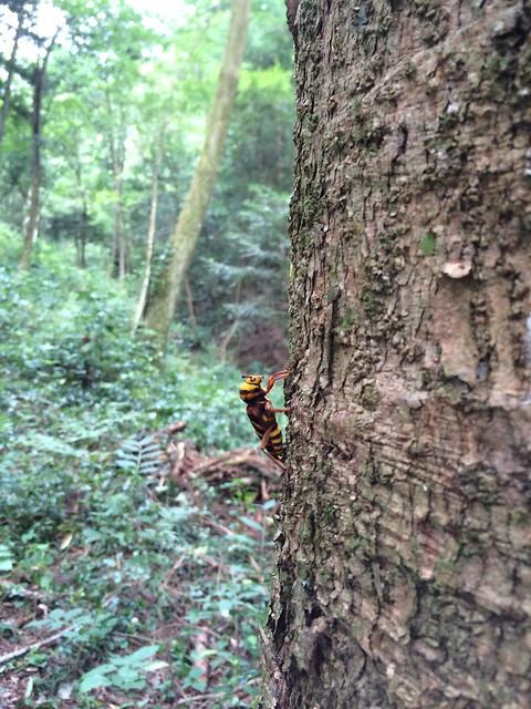 オオトラカミキリ[Xylotrechus villioni]...