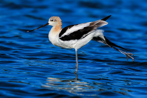 Radio Road, CA: America Avocet Does Ballet