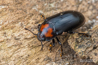 Pleasing fungus beetle (cf. Encaustes sp.) - DSC_0949