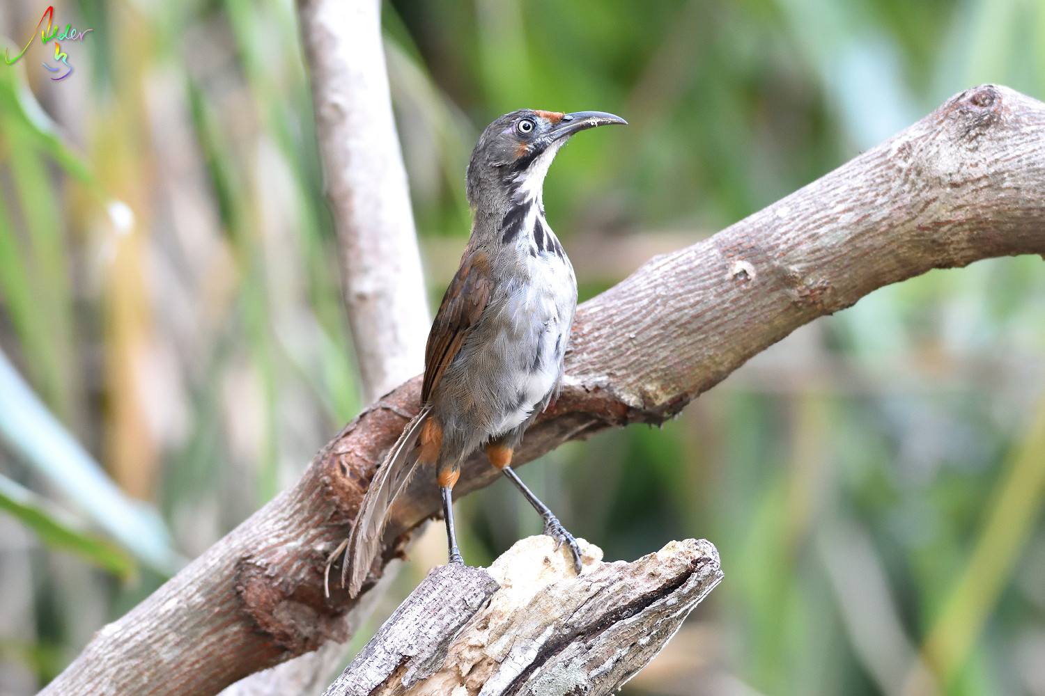 Rusty-cheeked_Scimitar_Babbler_4975