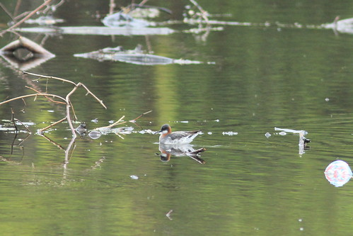 Red-necked Phalarope, Garret Mt. West Paterson, NJ 5/4/12 | by Larry Scacchetti
