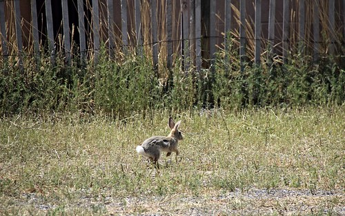 IMG_8238_A_Scared_Rabbit_On_The_Racetrack