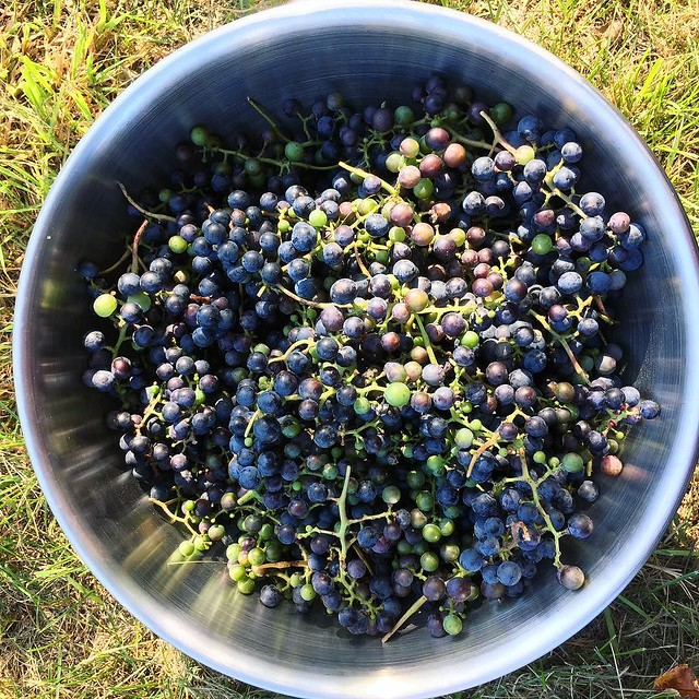#wildgrapes #foraging