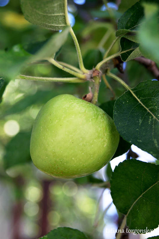 Созревающее яблоко