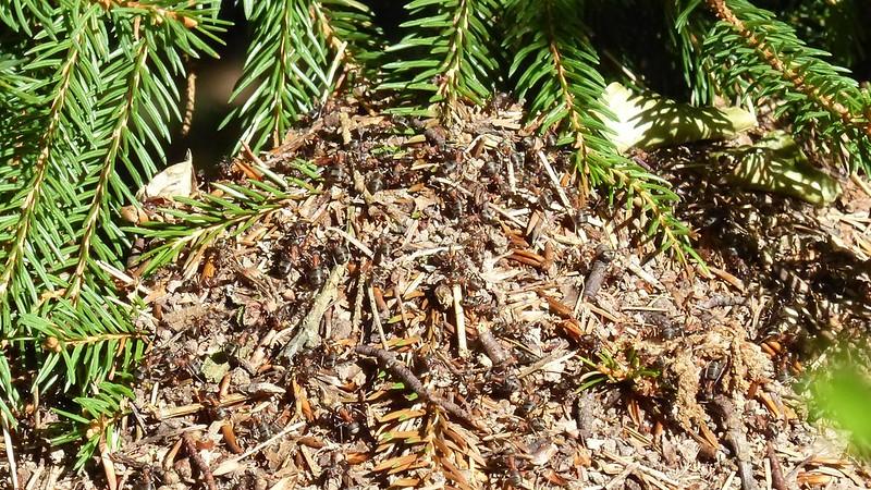 Ameisenhügel im Hunsrück