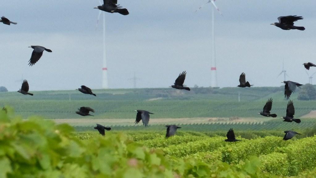 Raben über den Weinbergen zwischen Worms und Osthofen
