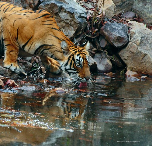 The Amazing Princess of Ranthambhore | by Subhodip Biswas