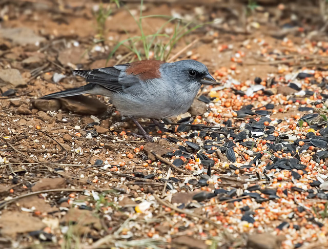 Dark-eyed-Junco-(Red-back)5-7D2-081916