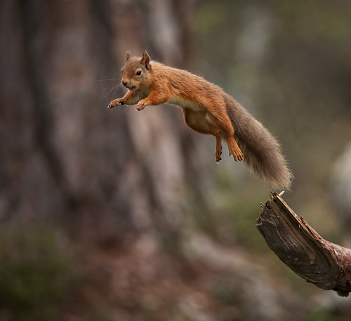 Red Squirrel jumping away with mouthful of food | by Margaret J Walker
