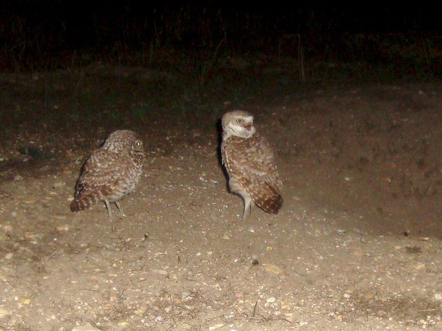 burrowing owls 11