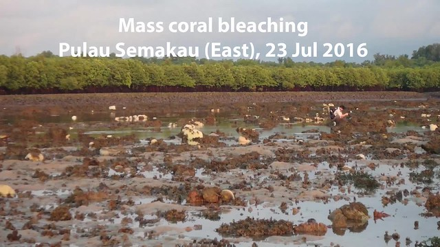 Mass coral bleaching at Pulau Semakau (East), 23 Jul 2016