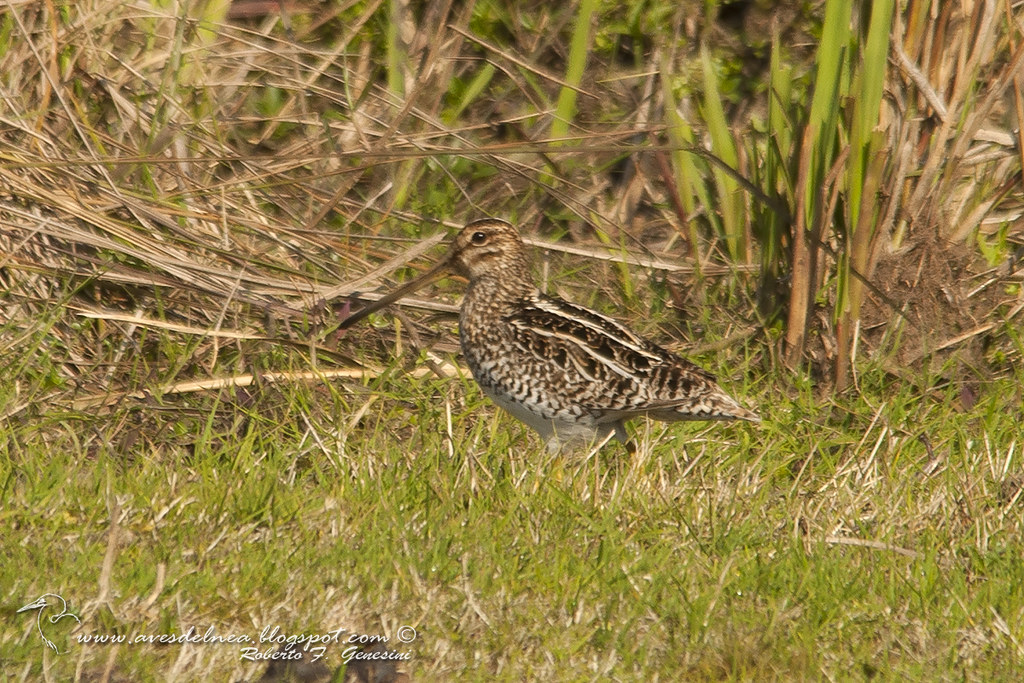 Becasina común (South-American Snipe) Gallinago paraguaiae