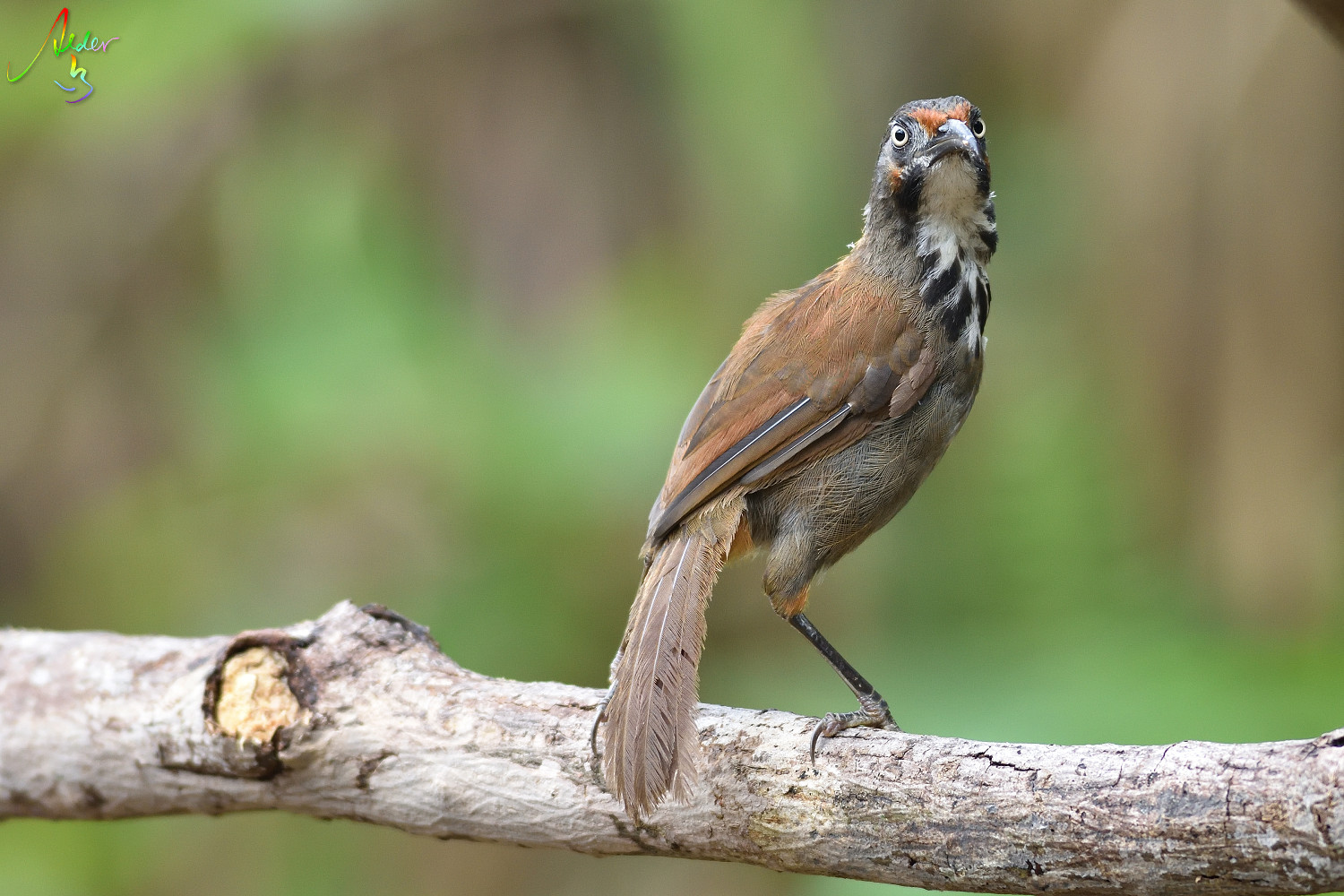 Rusty-cheeked_Scimitar_Babbler_5426