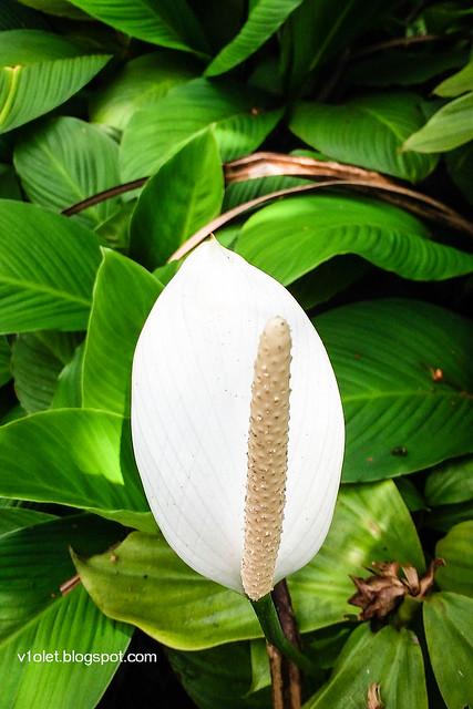 Spathiphyllum Cannaefolium2-133916rw