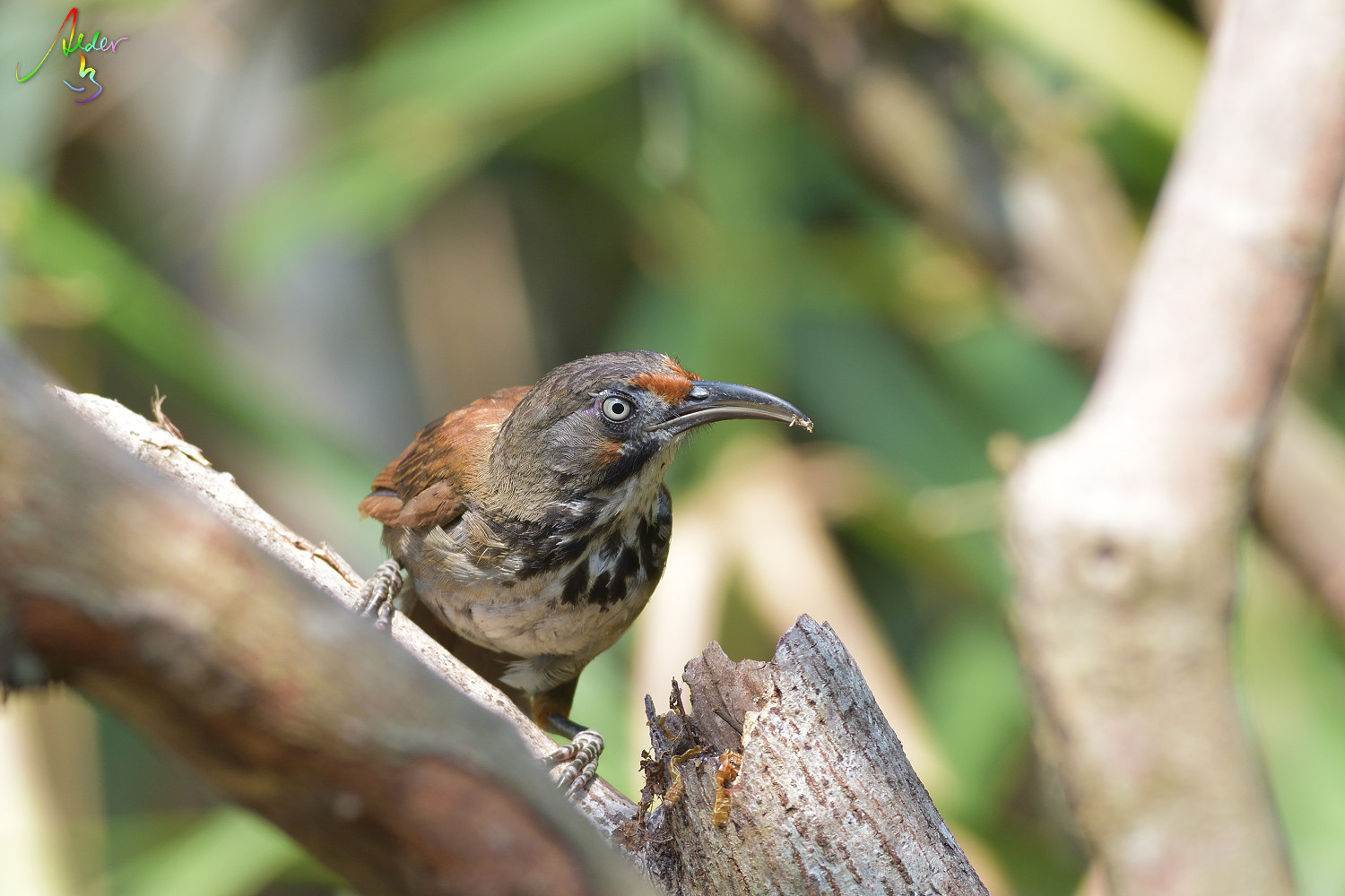 Rusty-cheeked_Scimitar_Babbler_4723