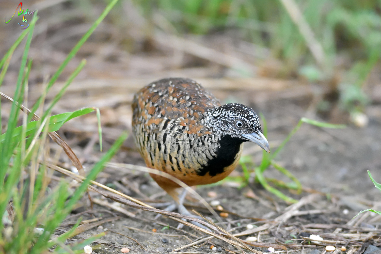 Barred_Buttonquail_1299