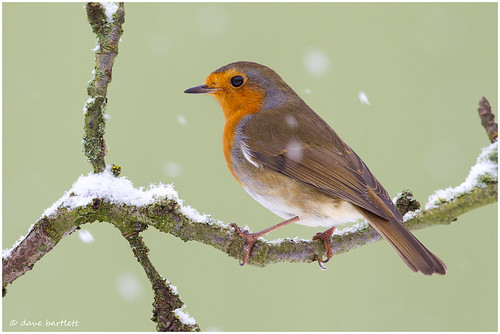 Robin in the snow | by DaveBartlett
