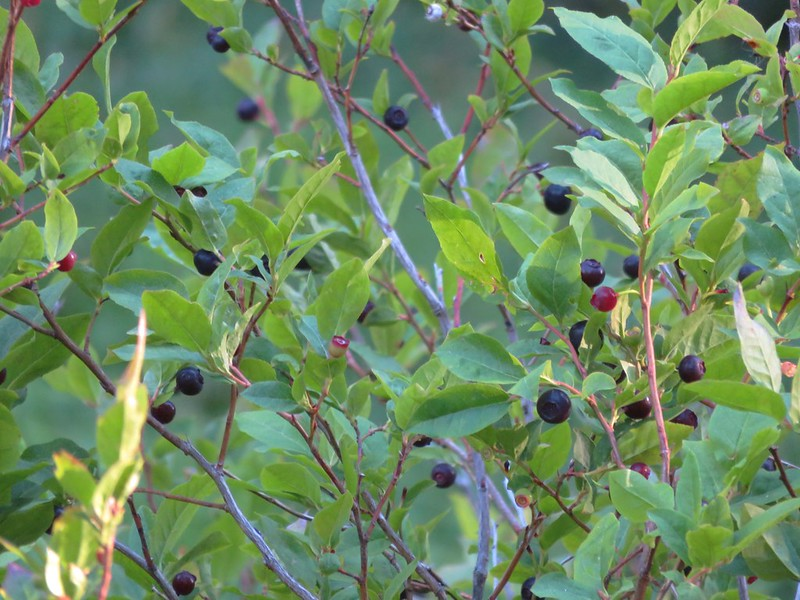 Huckleberries along the Paradise Park Trail