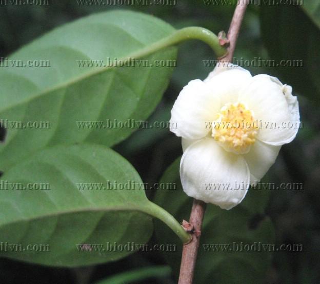 Camellia quangcuongii