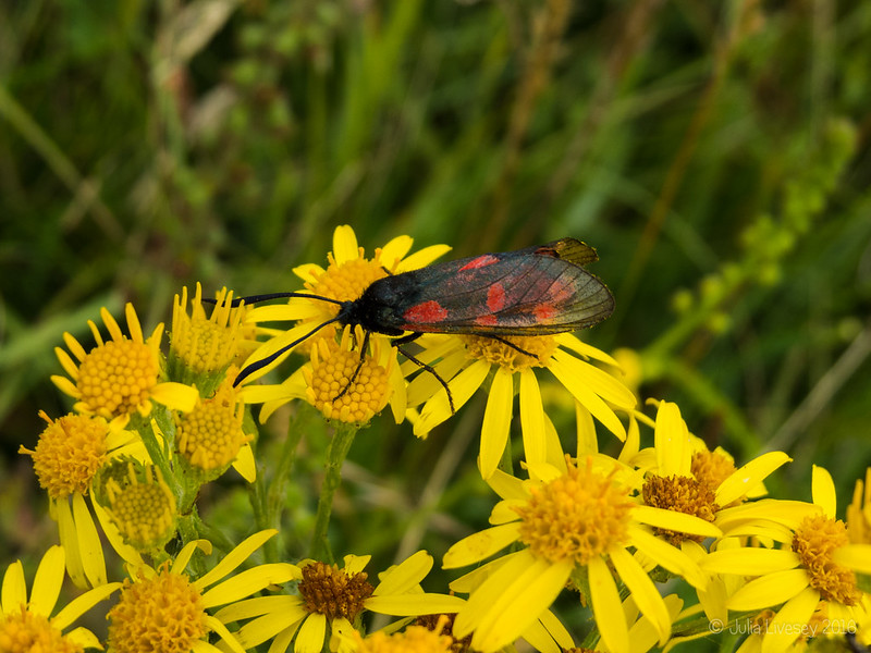 5 spot burnett moth on ragwort