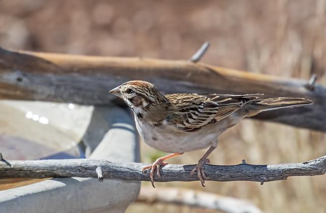 Lark-Sparrow-19-7D2-091216