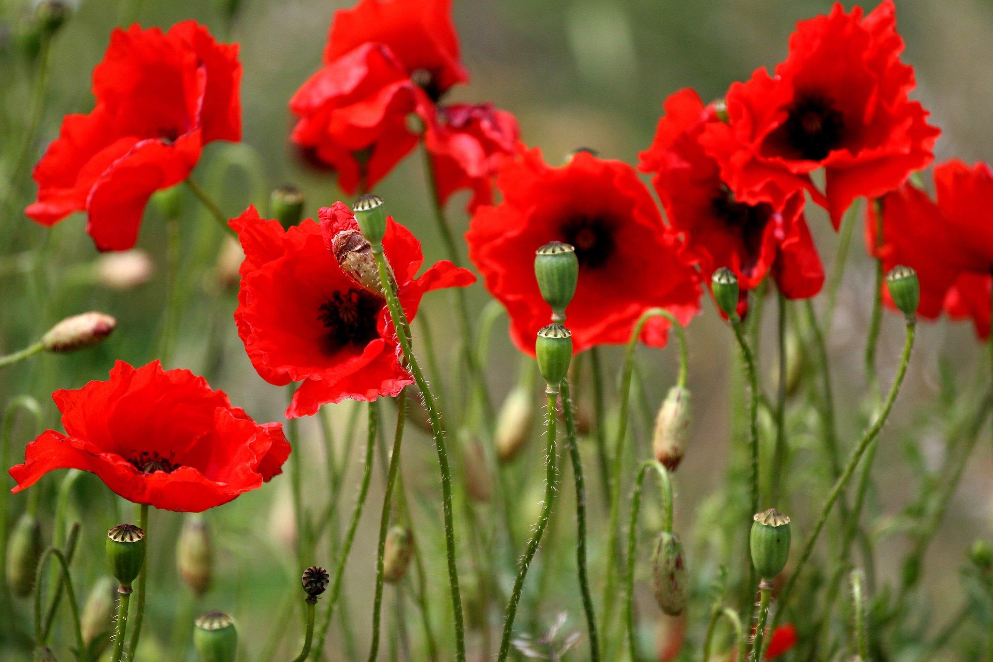 Фото цветов красные маки