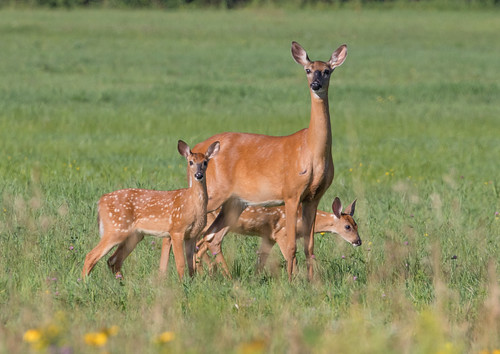 White-tailed Deer with twin fawns