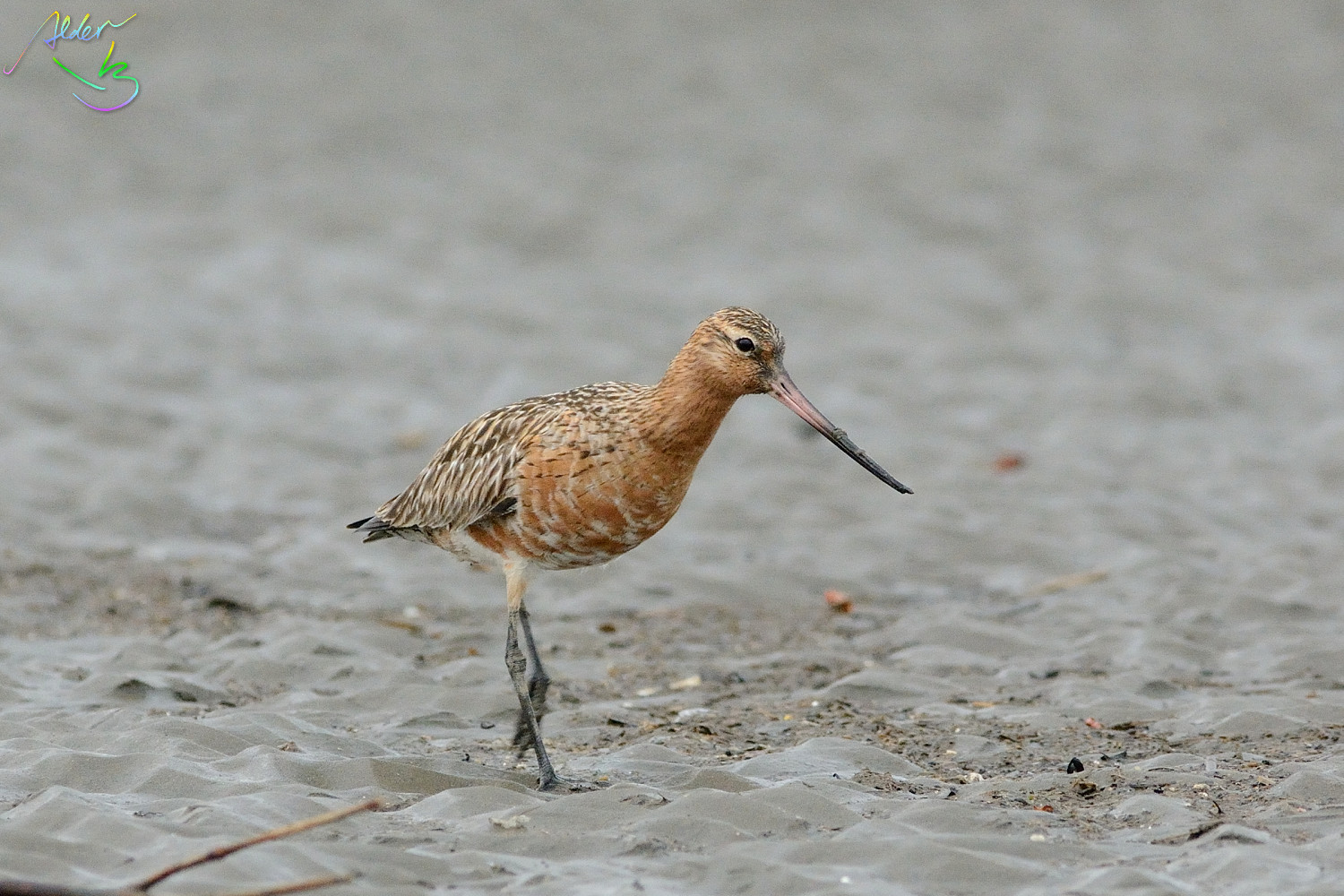 Bar-tailed_Godwit_0658