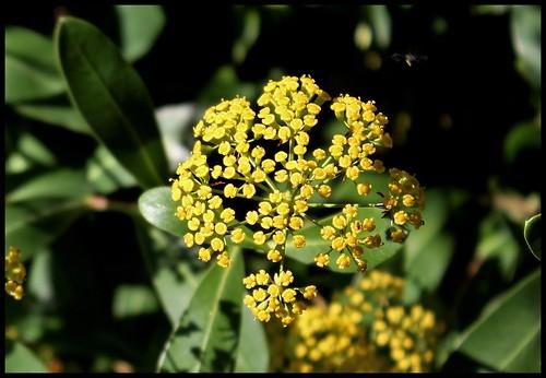 Bupleurum fruticosum (3)