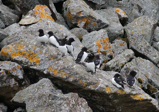 Little Auks at Isbjørnhamna