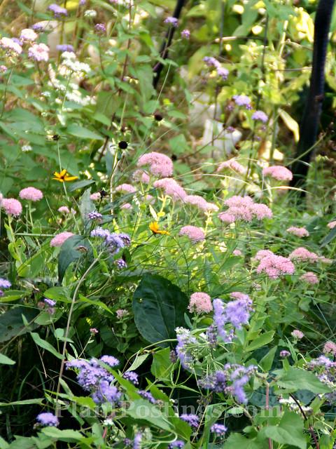 sedum & mistflower