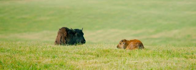 Bison (Bison bison)_5