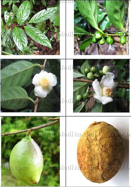 Camellia quangcuongii 1
