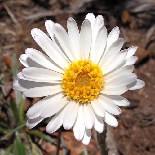 Snow Daisy - Dagger-leaf Celmisia - Celmisia pugioniformis - 20121228