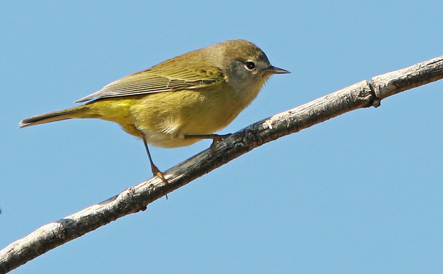 Orange--crowned-Warbler-IMG_7519