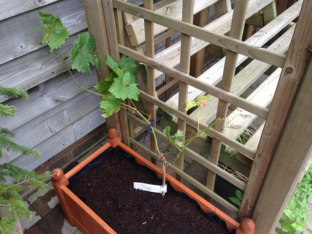Pinot Noir vine on the arbour