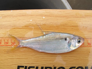 Threadfin Shad | by FISH-BIO