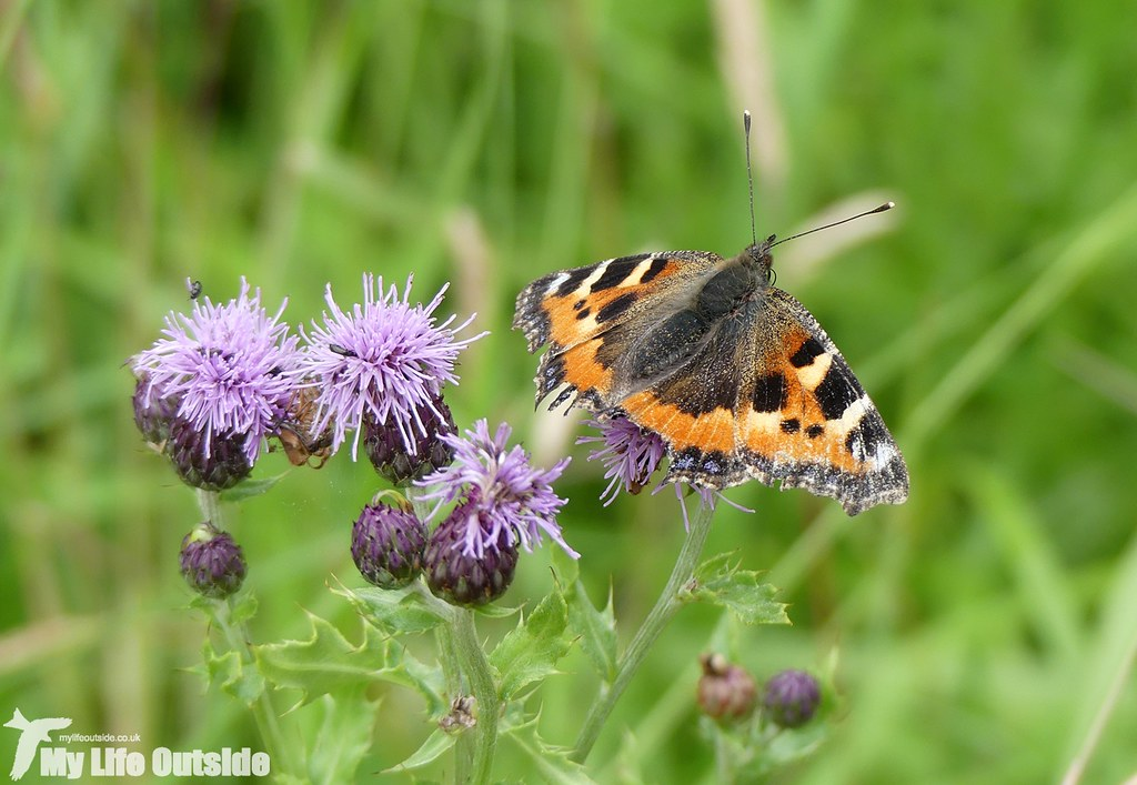 P1030610 - Small Tortoiseshell, Wicken Fen