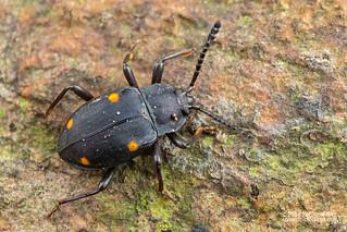 Handsome fungus beetle (Eumorphus assamensis?) - DSC_9707