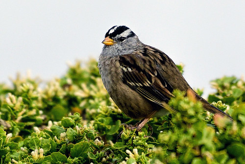 Half-Moon Bay, CA: White-crowned Sparrow