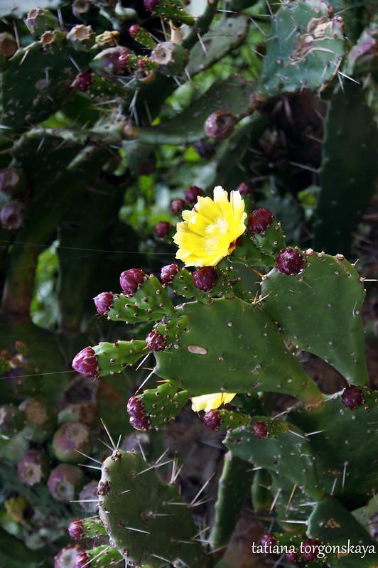 Опунция с желтыми цветами