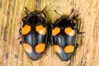 Fungus beetles (Erotylidae) - DSC_9462