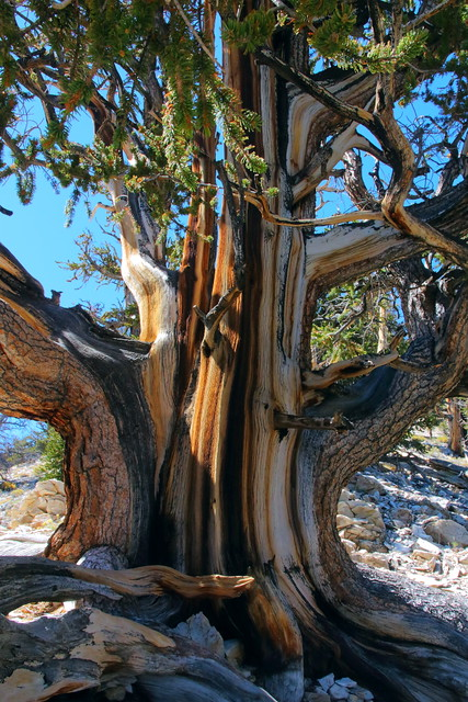 IMG_0120 Trunk of Great Basin Bristlecone Pine
