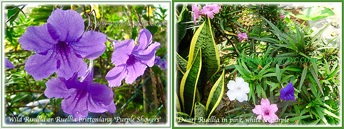 Collage of beautiful Ruellia at our frontyard, 2 Aug. 2016
