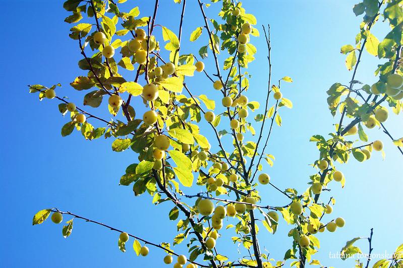 Алыча на дереве